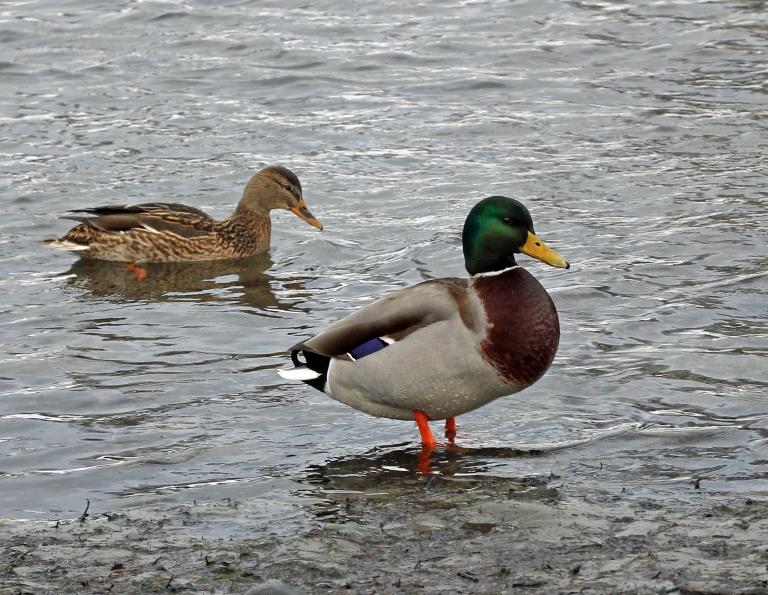 posing ducks