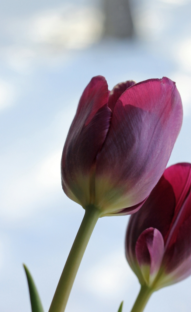 Tulips in the window 2