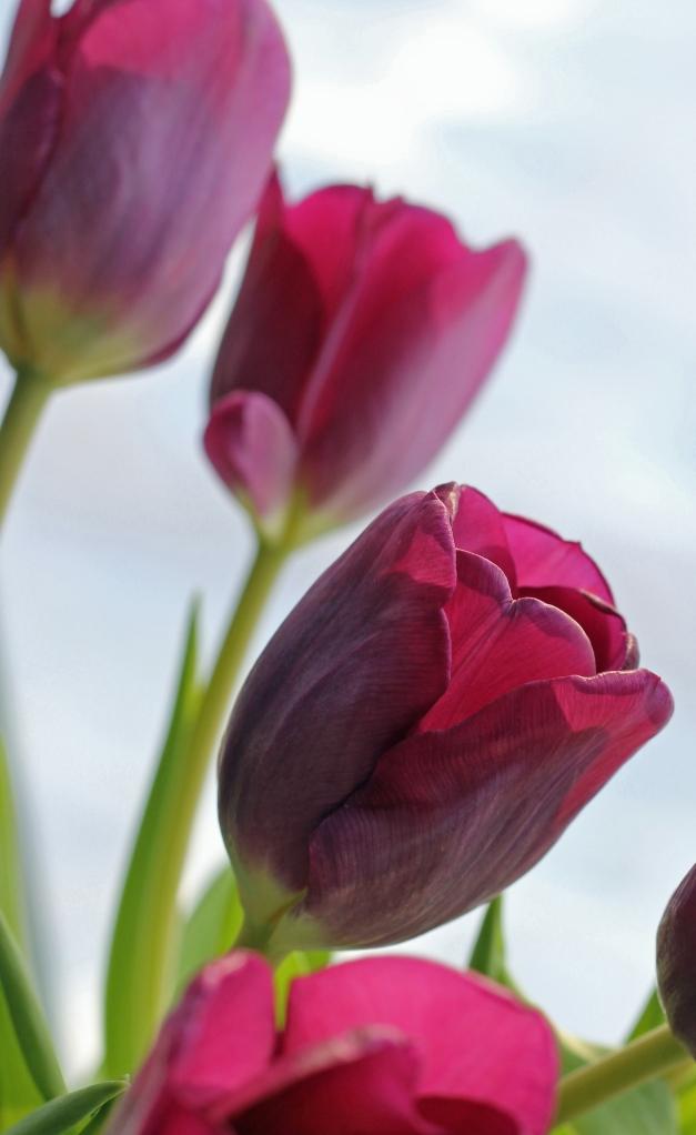tulips in the window