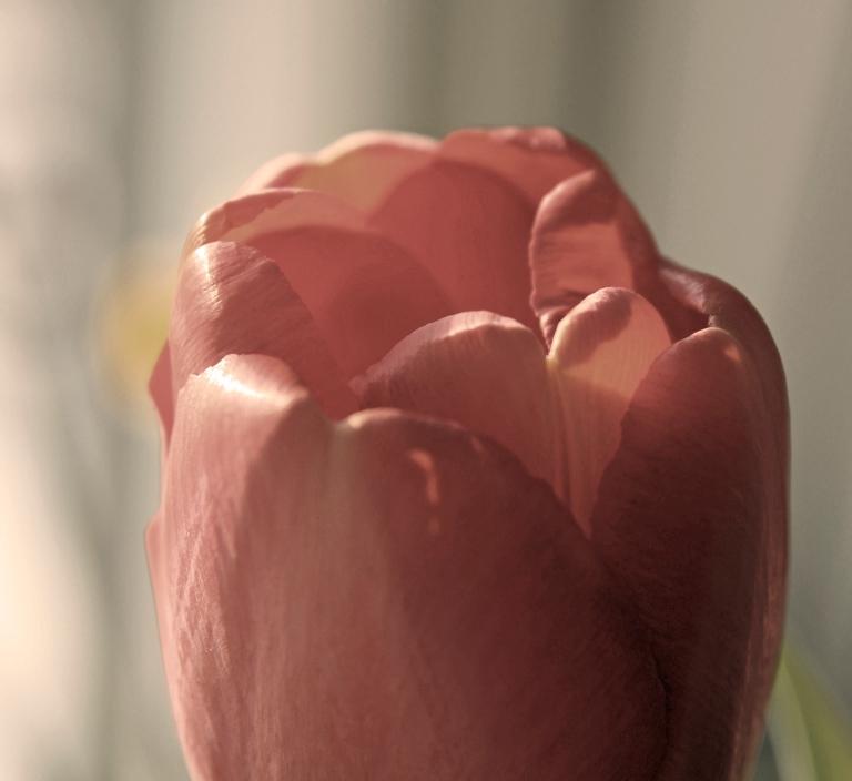 tulip extra edited