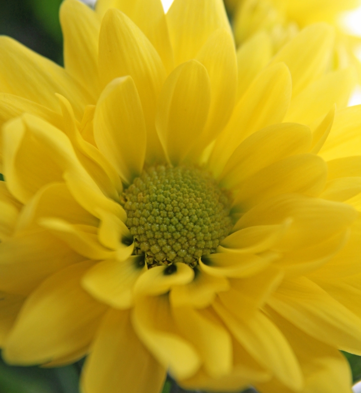 yellow chrysanthemum 1