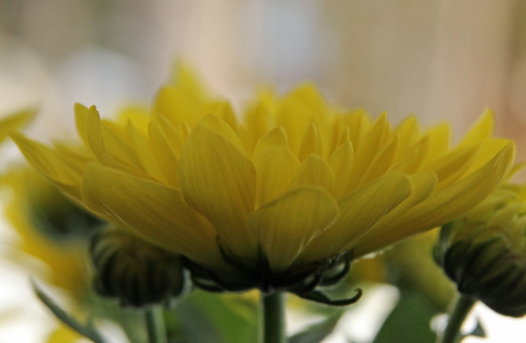 yellow chrysanthemum 2