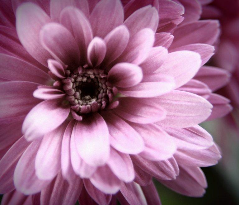 lilla chrysantemum