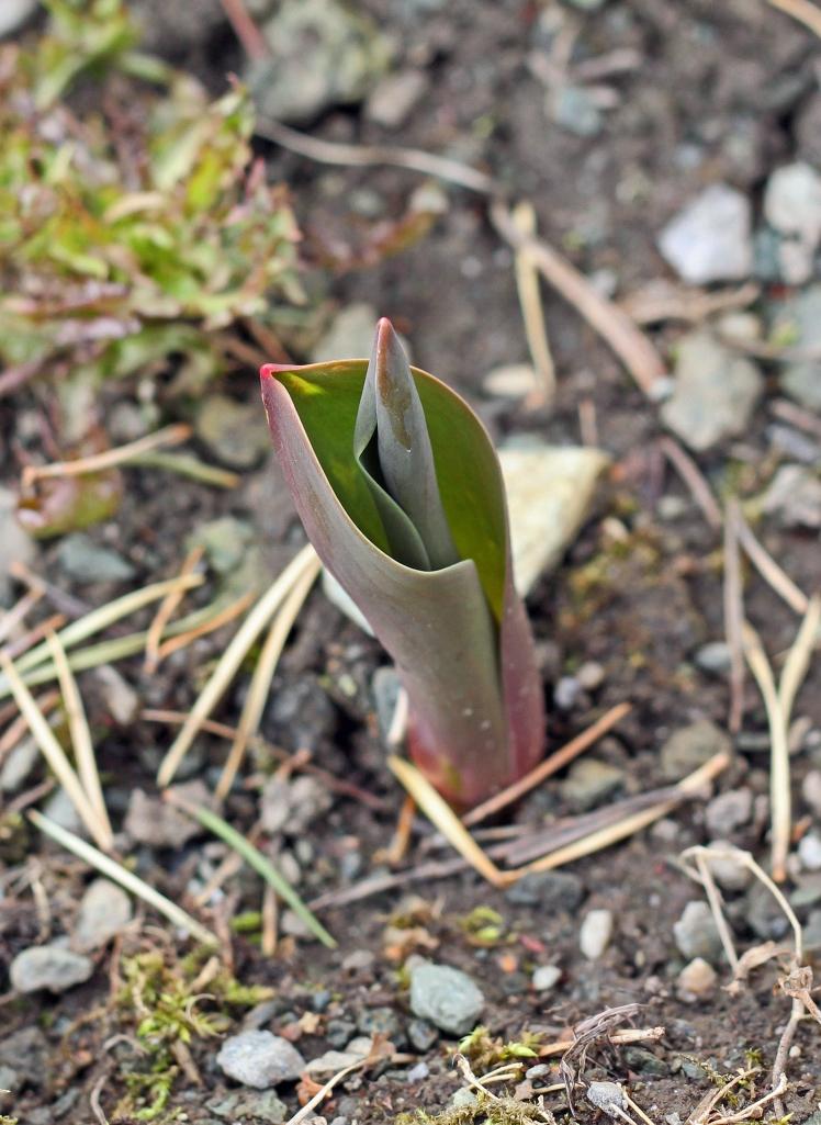 tulips growing