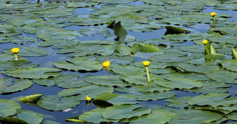 waterlilly flowers in the pond