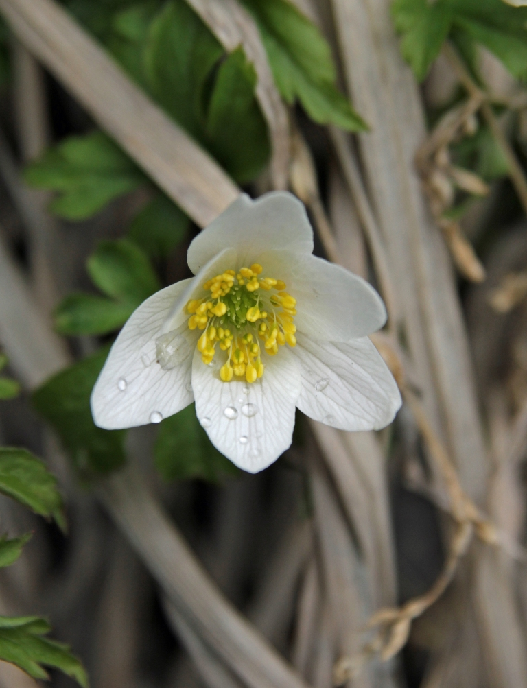 wood anemone 1