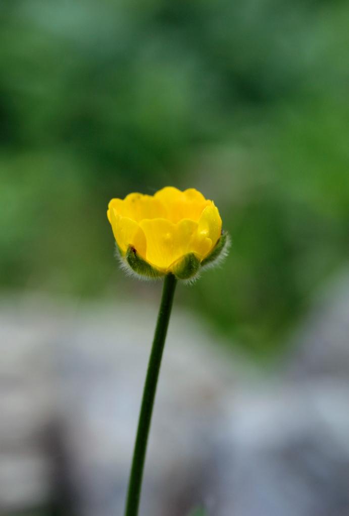 buttercup2