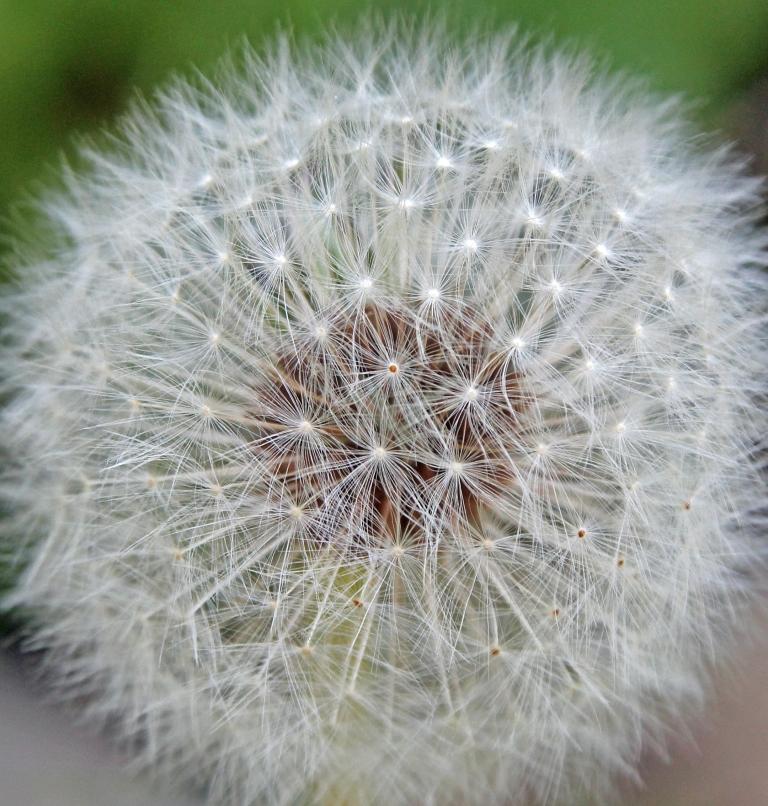 dandelion grey