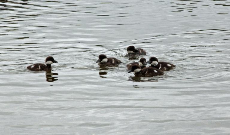 ducklings v2