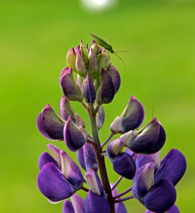 lupins with bug