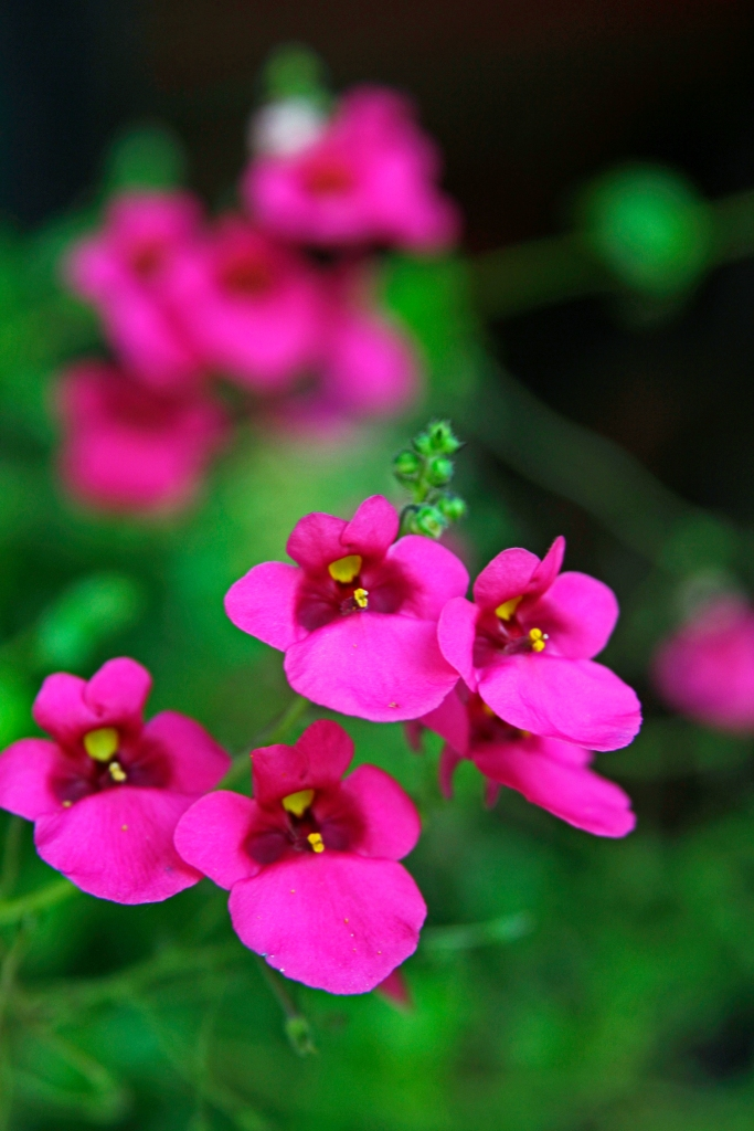 pink delight