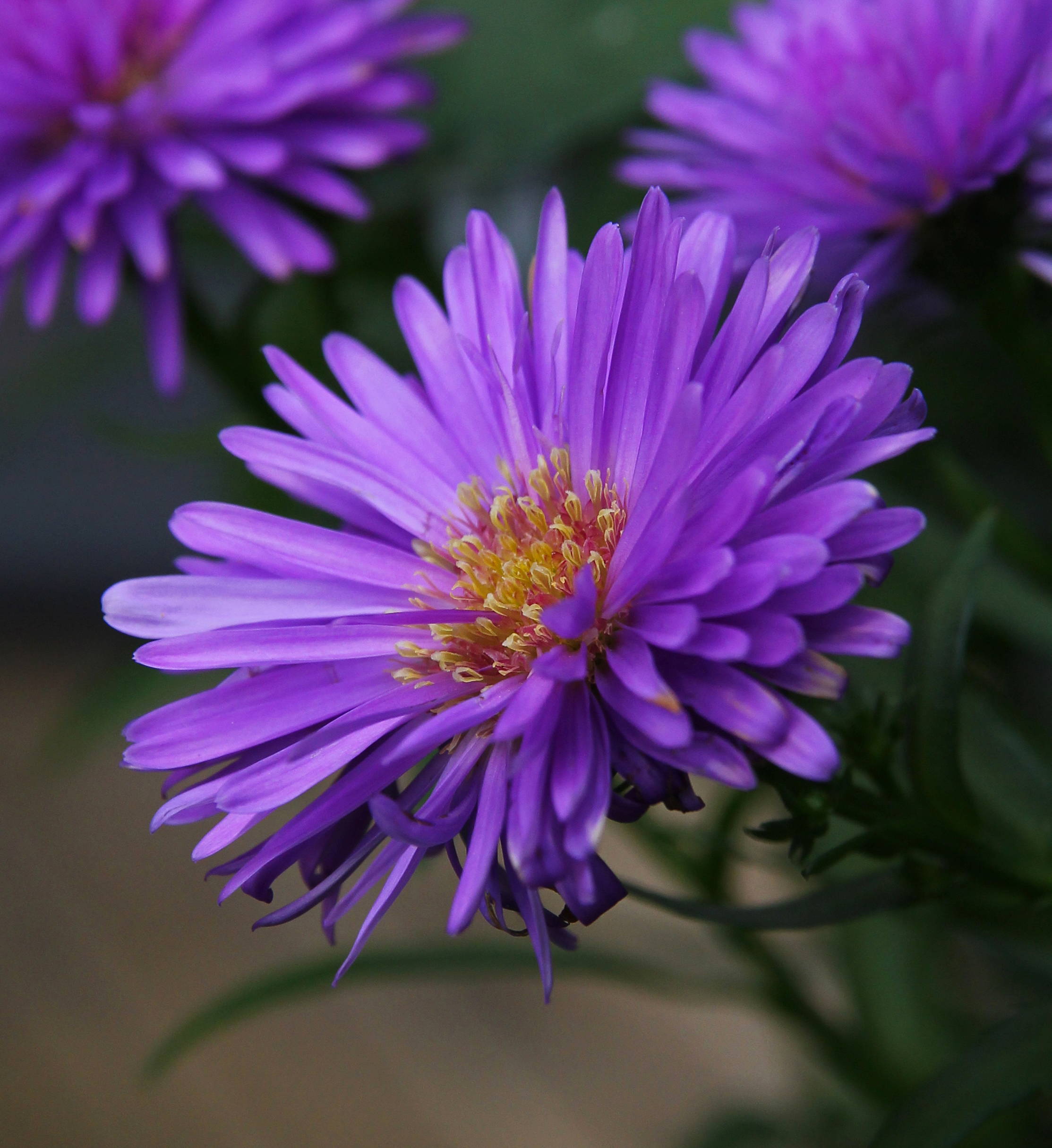 purple aster flowers  ingaphotography, Beautiful flower