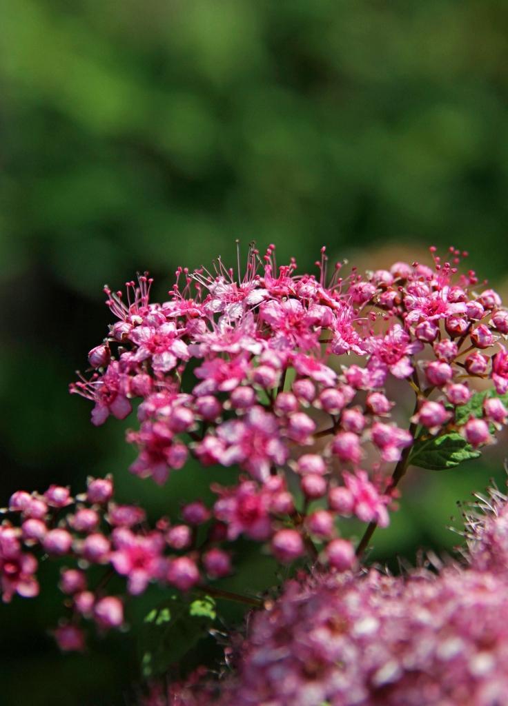 rosespirea frobelli