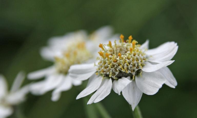 hvite sensommerblomster