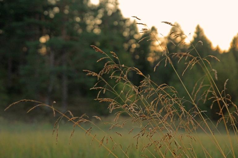 straw in evening light