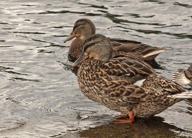 ducks resting v2