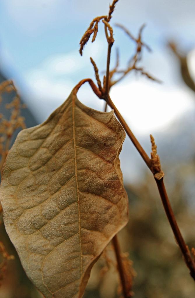 pale golden leaf 2