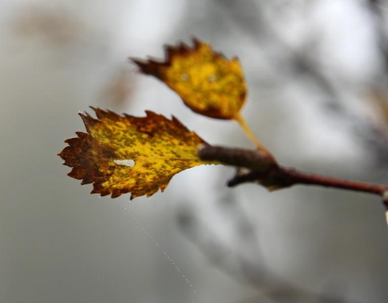 leaf in fog