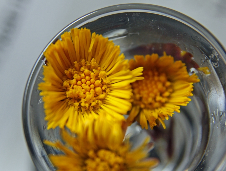 coltsfoot in a glass of water