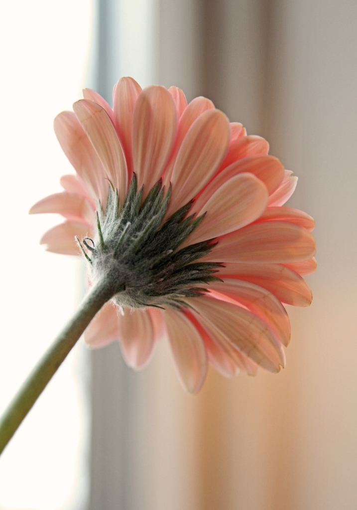 gerbera from the back 2