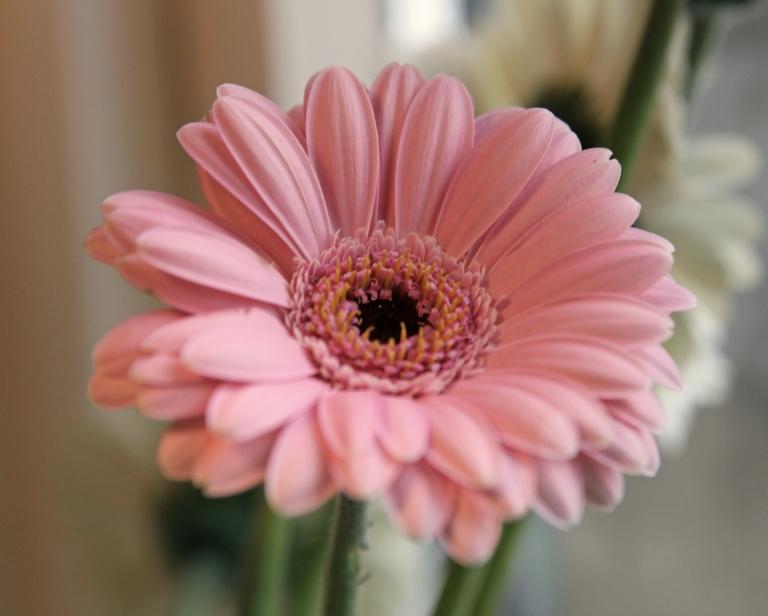 pink gerbera2