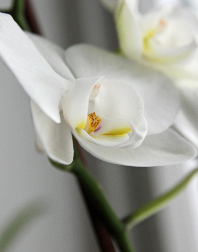 white orchid2