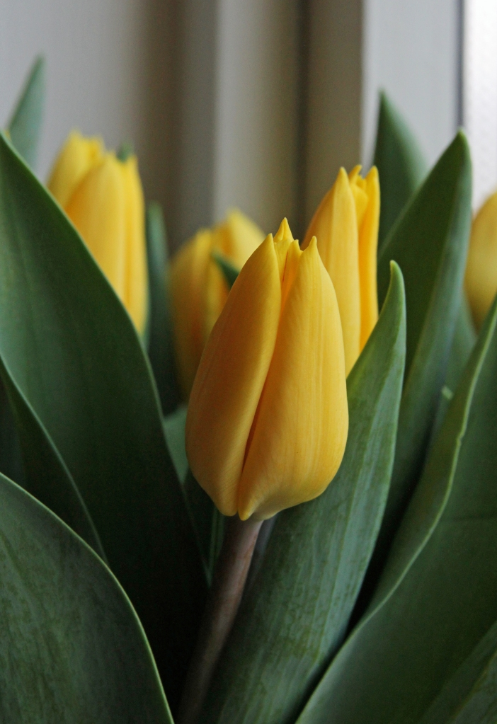 Yellow tulips for Easter