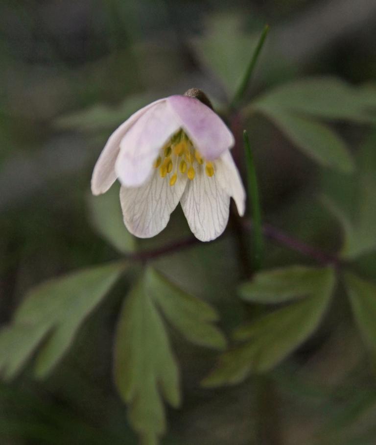 dreamy wood anemone