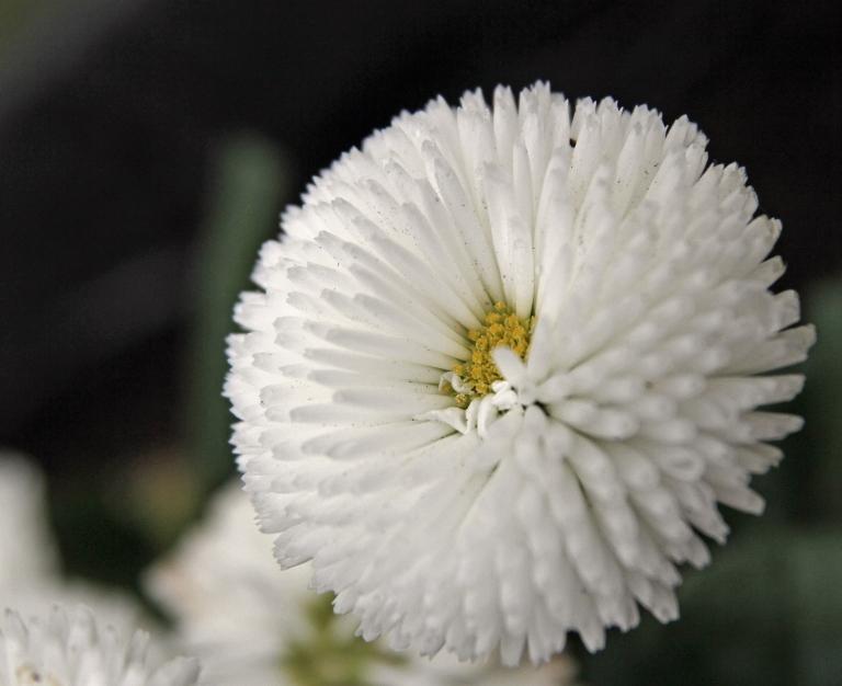 english daisy3