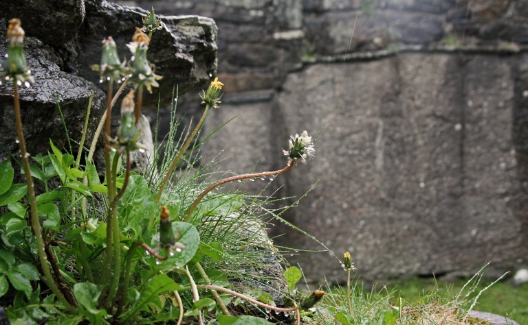 wet dandelions by the ruins