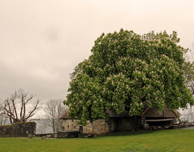 Yard tree by Halsnøy abbey ruins