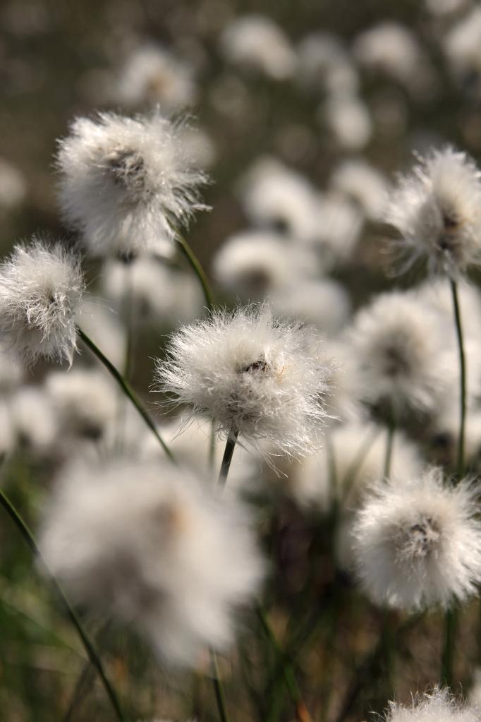 cottongrass2