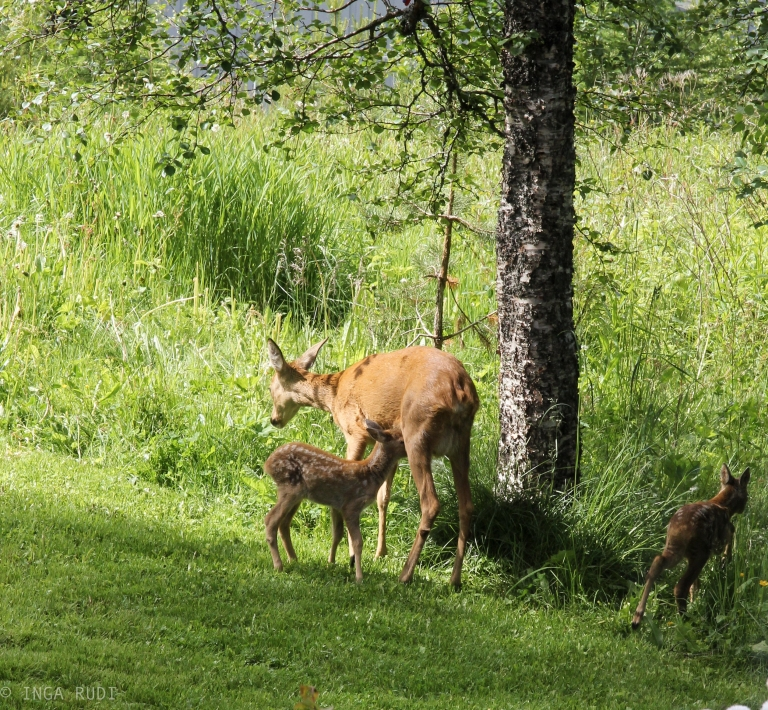 fawns in the garden