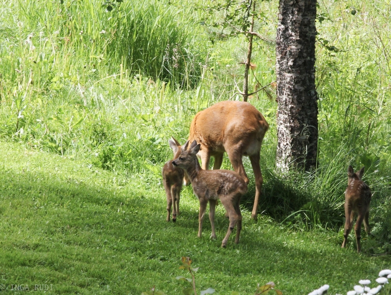 fawns in the garden2