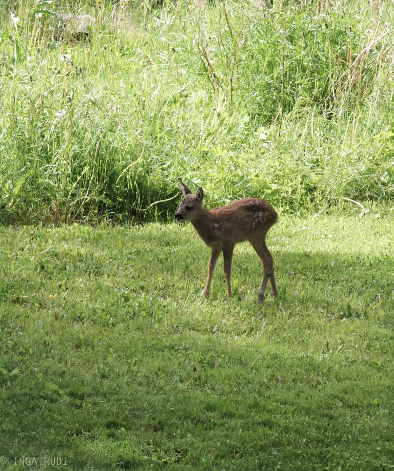 fawns in the garden3
