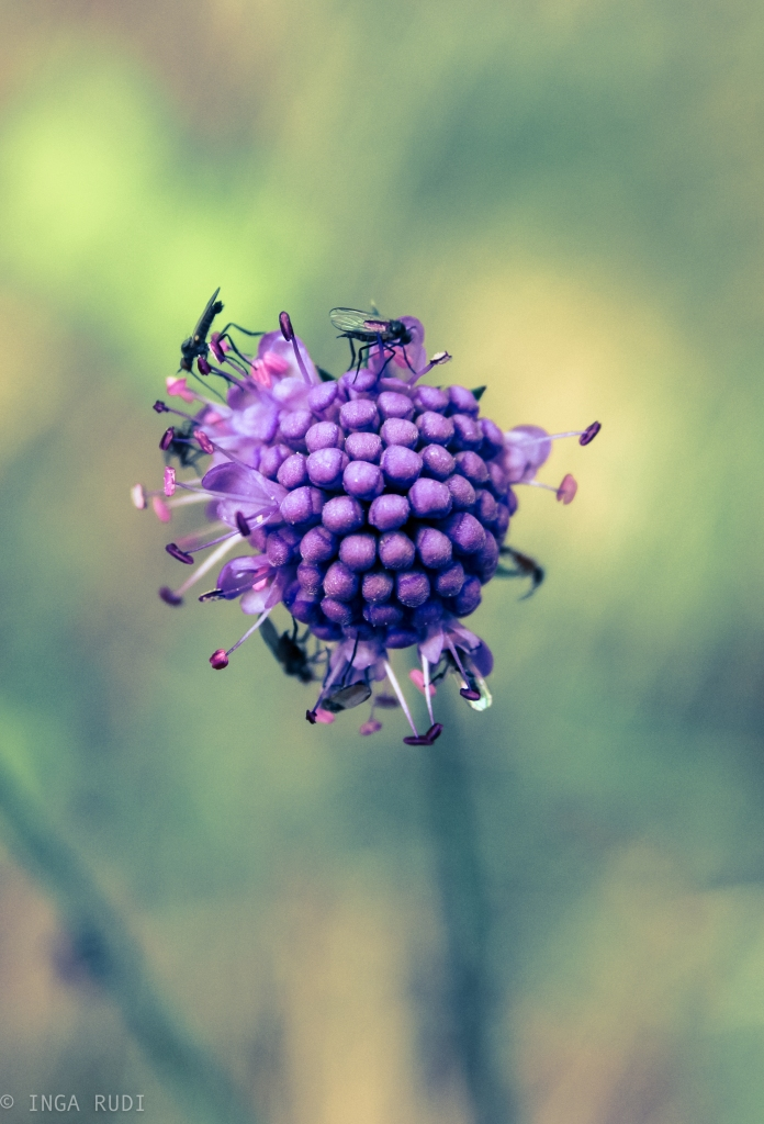 devil's bit scabious with flies v2