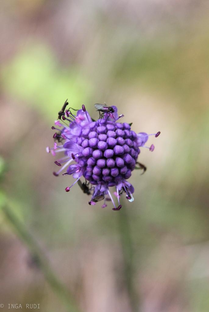 devil's bit scabious with flies