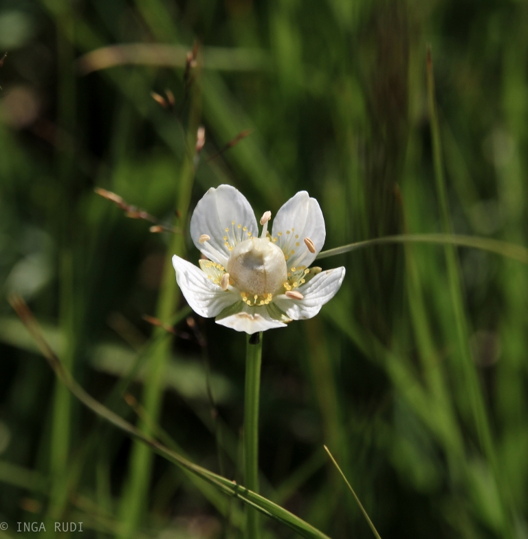 tiny white flower in the woods