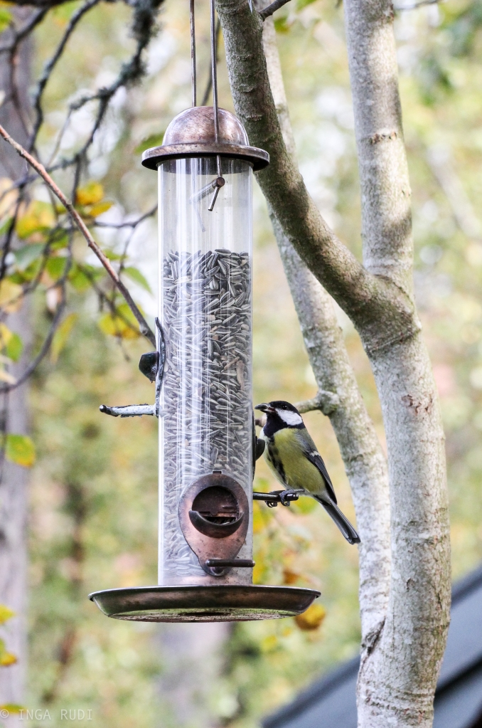 great tit at the feeder
