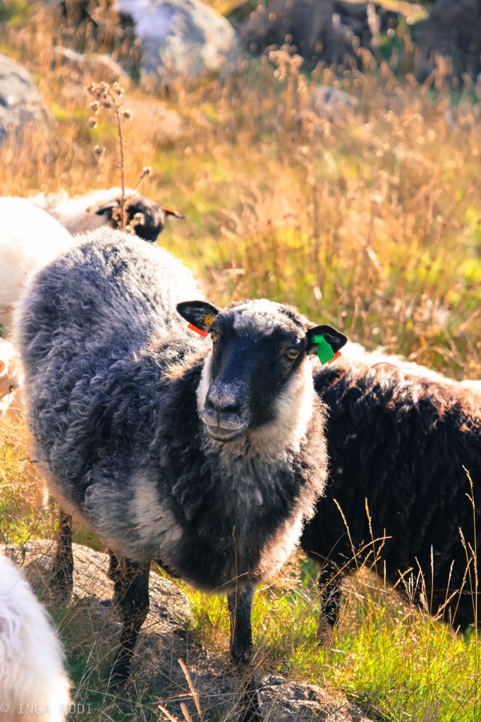 sheep in the afternoon light2