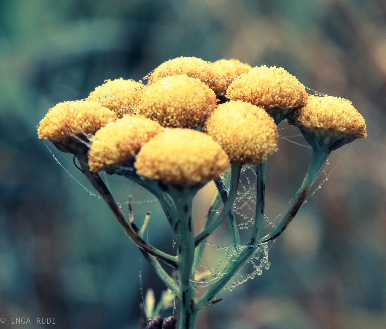 tansy with dew