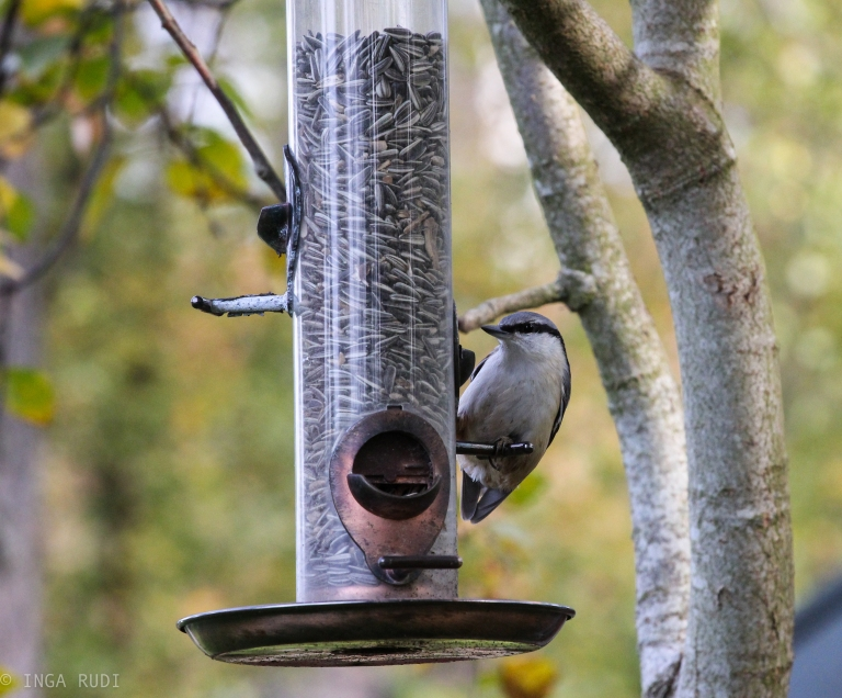 willow tit at the feeder