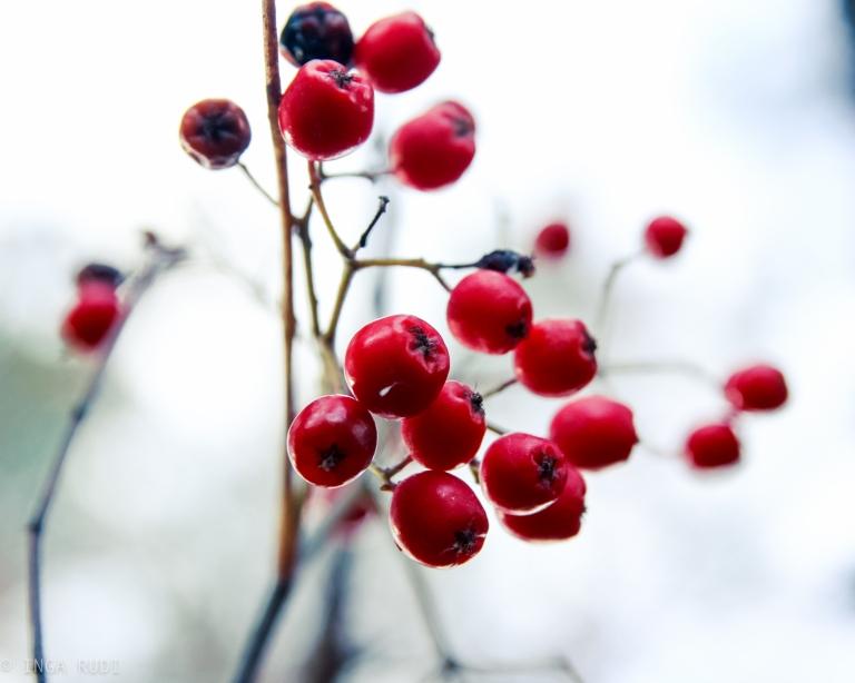 rowan berries with preset