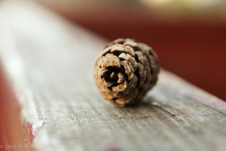 pine cone2