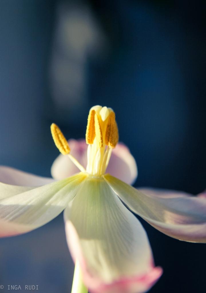 fully opened tulip