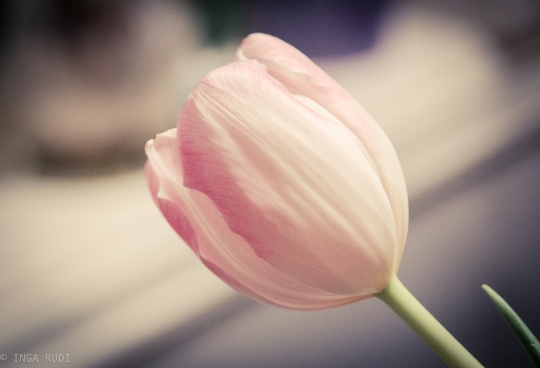 light pink tulip