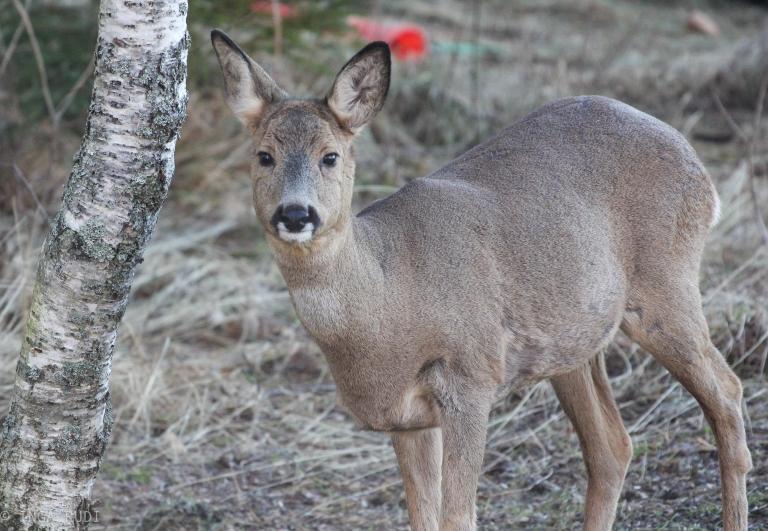 roe deer looking at me