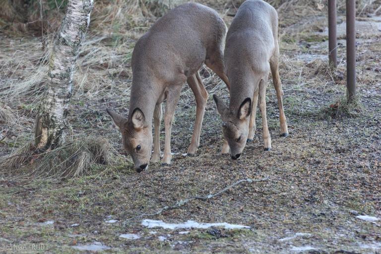 roe deers eating
