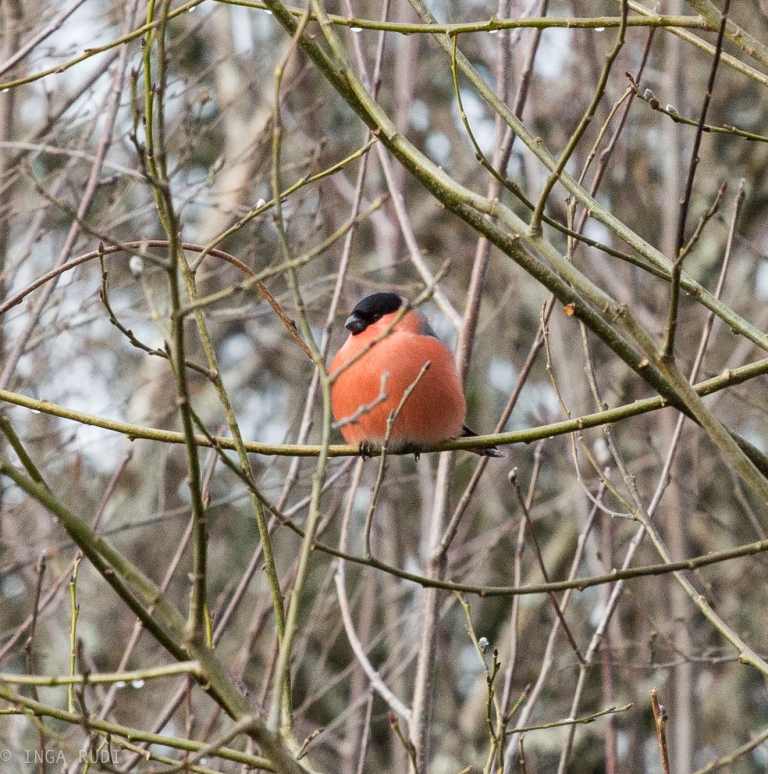 big fat bullfinch 2