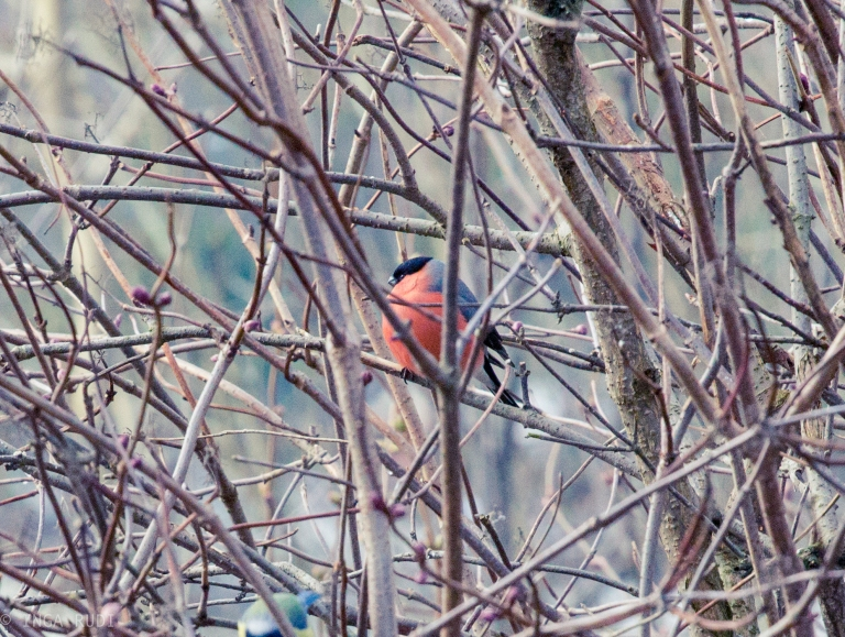 big fat bullfinch